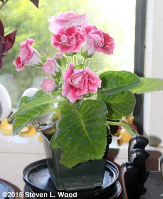 Double Brocade gloxinia in bloom