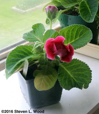 Another Double Brocade gloxinia comes into bloom