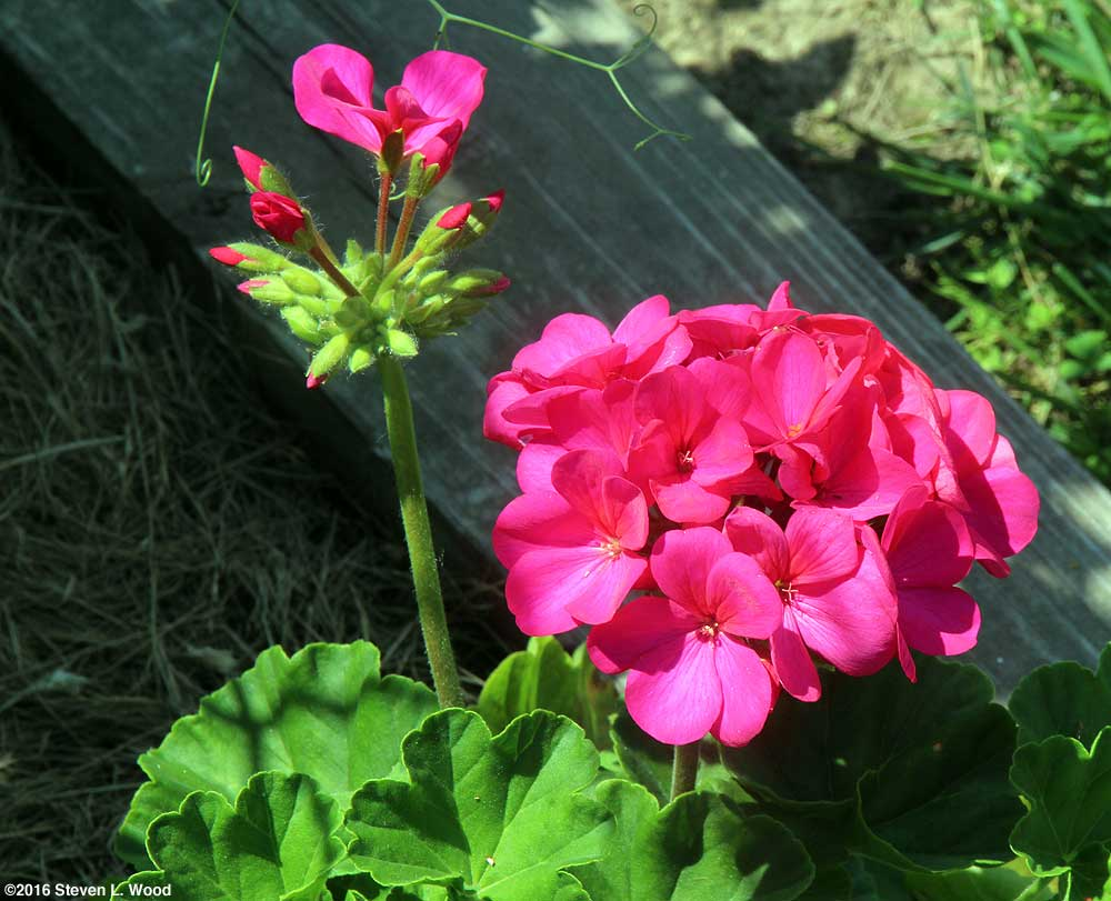 Pretty Orbit geranium in bloom