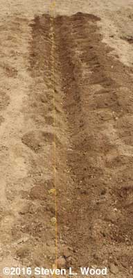 Trench dug again, potato sets in place