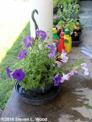 Bottom watering hanging basket plant