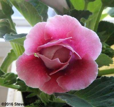 Gloxinia bloom