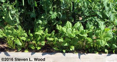 Abundant Bloomsdale spinach going to seed