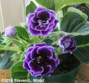 Purple gloxinia