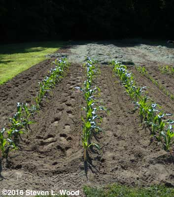 Transplanted sweet corn cultivated