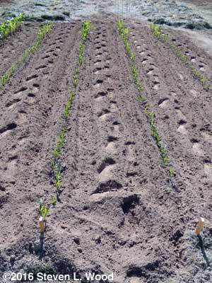Direct seeded corn cultivated