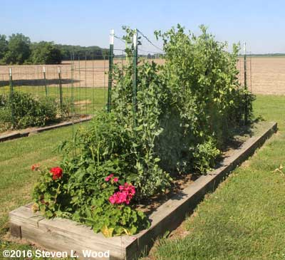 Early pea vines growing on and between trellises