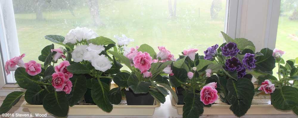 Gloxinias in bloom in sunroom