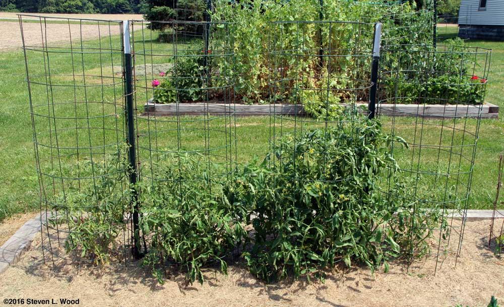 Earlirouge tomato plants