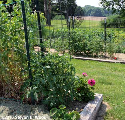 Healthy Moira tomato plant with Earlirouge plants in background