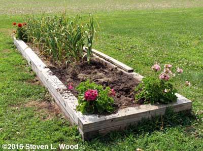 Garlic bed partially dug