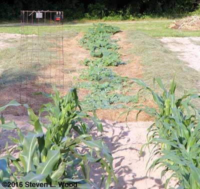 Corn and melon rows
