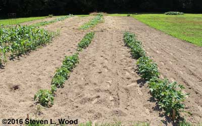 Potato rows before hilling