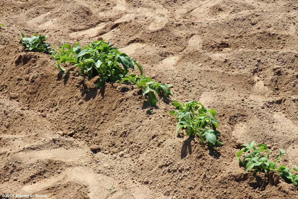 Hilled potato plants
