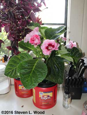 Large gloxinia with single and doubled blooms