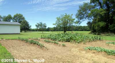Potato rows and sweet corn patch