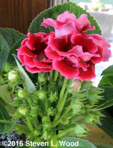 Lots of buds on gloxinia plant