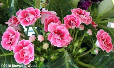 Pink, Double Brocade gloxinia