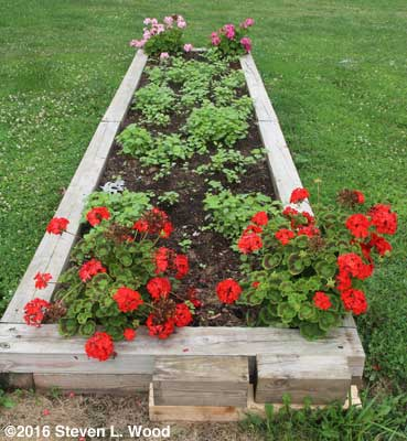 Geraniums and buckwheat in narrow raised bed