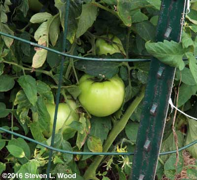 Immature Moira tomatoes