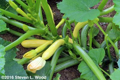 Slick Pik yellow squash