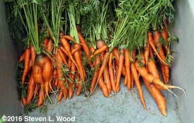Spring carrot harvest - 2016