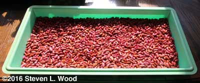 Kidney beans drying