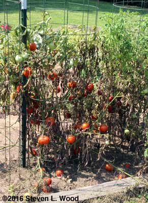 Diseased Earlirouge tomato plant
