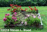Geraniums and turned down buckwheat