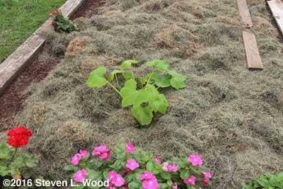 Slick Pik yellow squash plants