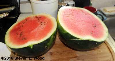 First ripe watermelon of the season, a Blacktail Mountain