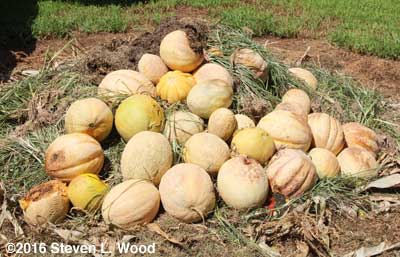 Cull melons on compost pile
