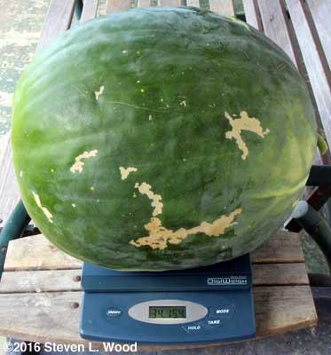 Thirty-five pound Moon & Stars watermelon