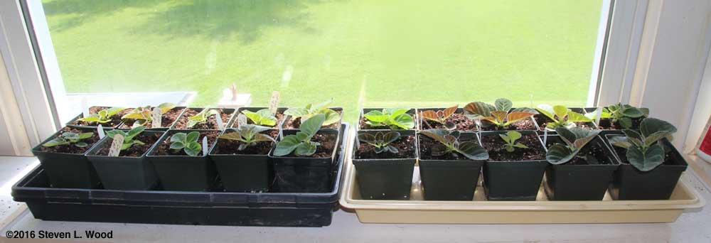 Gloxinias in four and four and a half inch pots