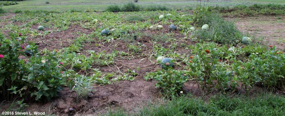 Melons still ripening