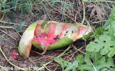 Melon eaten by raccoons
