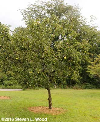 Granny Smith semi-dwarf apple tree