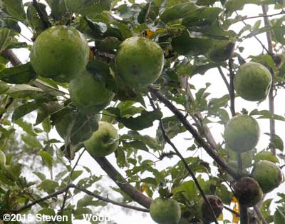 Nearly ripe Granny Smith apples (with sooty mold)
