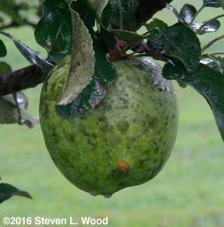Sooty mold on Granny Smith apple