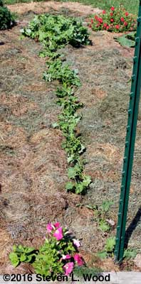 Kale row weeded and mulched