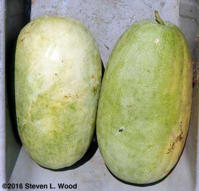 Ripe Ali Baba watermelons