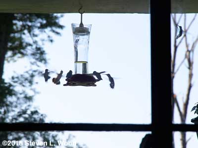 Hummingbirds at feeder - August 30, 2016