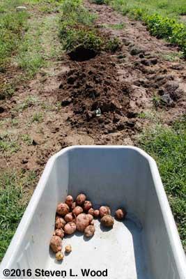 Digging a few potatoes
