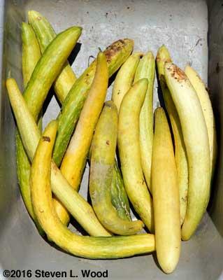 JLP cucumbers for seed saving