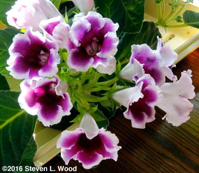 Pretty purple and white gloxinia blooms