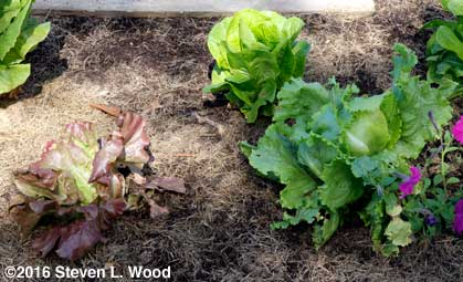Skyphos, Winter Density, and Crispino lettuce