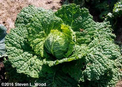 Alcosa savoyed cabbage