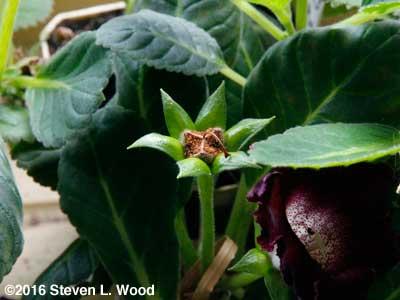 Ripe gloxinia seed