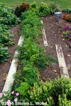 Carrot row