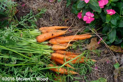 Carrots dug for soup